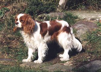 Charming Cavaliers - Dog Breeders