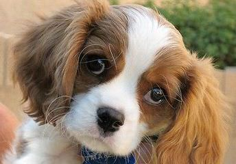 Want To Breed Cavalier Spaniel - Dog Breeders