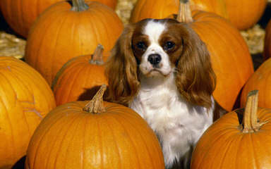 Autumnsanz Cavaliers - Dog and Puppy Pictures