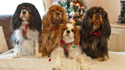 Countryside Cavaliers - Dog Breeders