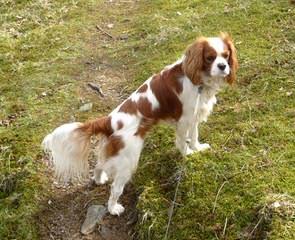 St Jon Cavaliers - Dog Breeders
