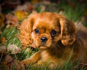 Lilium Cavaliers - Dog Breeders