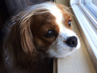 Michigan Akc Cavalier King Charles Spaniel - Dog Breeders