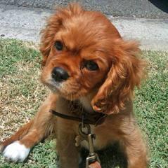 Virginia Cavalier Puppy - Dog Breeders