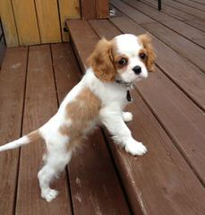 Spangles - Dog and Puppy Pictures