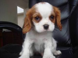 Cavalier King Charles Puppies - Dog Breeders