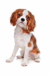 Cavalier Lovers - Dog Breeders