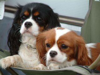 King Charles Cavaliers - Dog Breeders