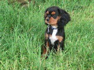 Akc Cav.King Charles + Akc Beagle= Achc Beagliers! - Dog and Puppy Pictures