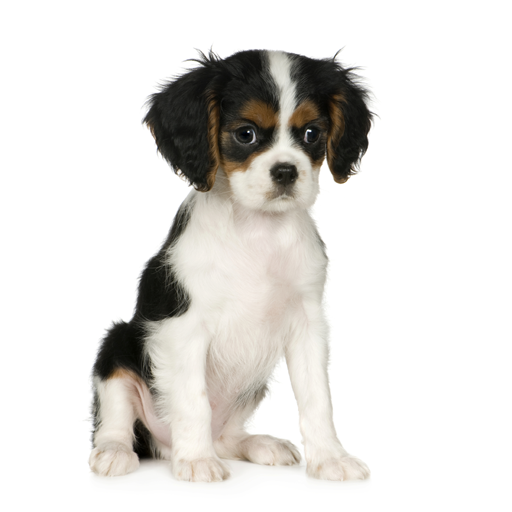 Walnut Creek Cavalier King Charles - Dog Breeders
