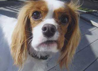 World Class Cavalier King Charles Breeder - Dog and Puppy Pictures