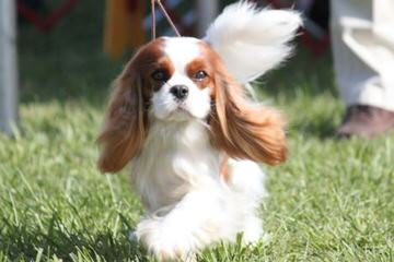 Spangles - Dog Breeders