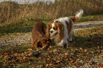 Cavalier King Charles Puppies - Dog Breeders