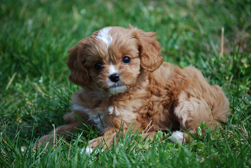 Cavapoo Dogs and Puppies