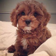 Riverside Puppies: Home Raised Maltipoos, Yorkipoos, Schnoodles & Cavapoos - Dog Breeders