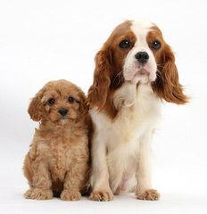 Heart To Heart Cavapoo's - Dog Breeders