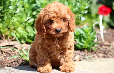 Springerdoodle,Whoodle And Cavapoo Pups - Dog Breeders