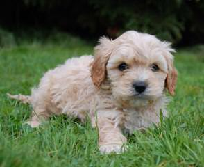 Cavapoo Puppies For Sale / Cavapoo Dog Breeders