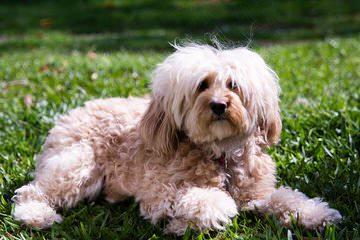 Windchime Kennel - Dog Breeders