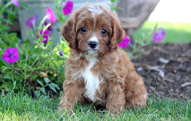Sweet Cavapoo Love! - Dog Breeders