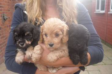 Cavapoo Puppies Place - Dog Breeders