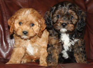 Designer Divas - Dog Breeders