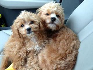 3 Pines Kennels Cavachons And Cockapoos - Dog Breeders