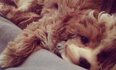 Cavapoo Bundles Of Love - Dog Breeders