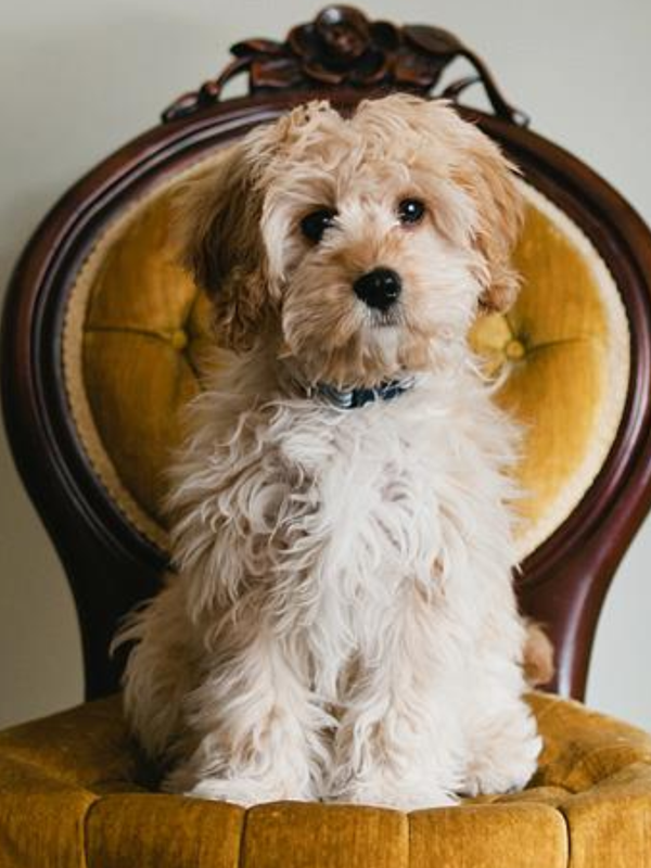 Florida Cavapoos - Dog and Puppy Pictures