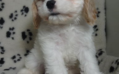Exquisite English And American Golden Retrievers And Cavapoo Babies - Dog Breeders