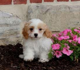 Cedarrose Kennels - Dog Breeders