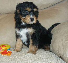 Florida Cavapoos - Dog Breeders