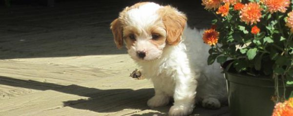 Cavapoo Bundles Of Love - Dog and Puppy Pictures