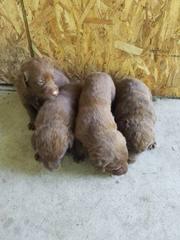 Chesador Stud - Dog Breeders