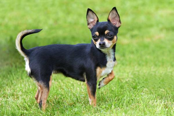 Chihuahua Dogs and Puppies