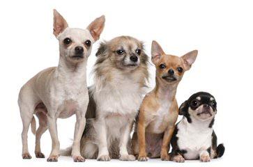 Dee's Dolittle Chihuahuas in Ridgefield WA - Dog Breeders