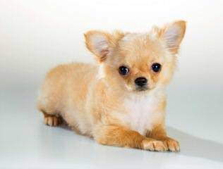 Tiny Female Chihuahua - Dog Breeders