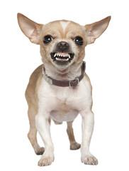Stud Dog Services: Oliver - Dog Breeders