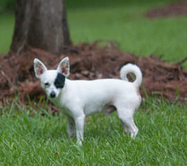 Dee's Dolittle Chihuahuas in Ridgefield WA - Dog Breeders