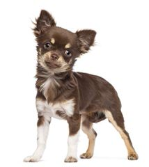 SC Chihuahuas - Dog Breeders