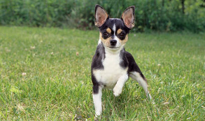 Long Haired Merle Chihuahua Puppies - Dog Breeders
