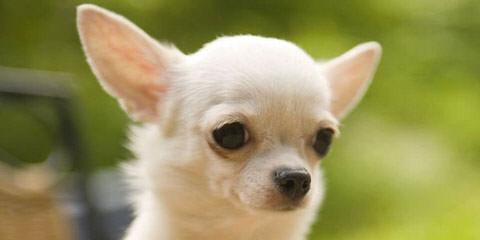 Rock N Ff Chihuahuas - Dog Breeders