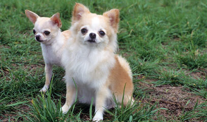 The Chihuahua Dawghouse - Dog Breeders