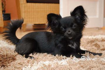 Cathy's Charming Chihuahuas - Dog Breeders