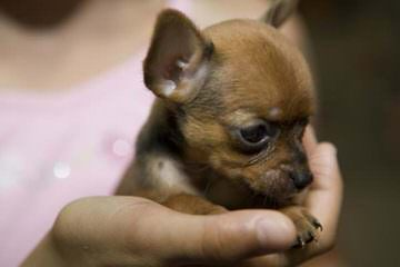 Tiny Female Chihuahua - Dog Breeders