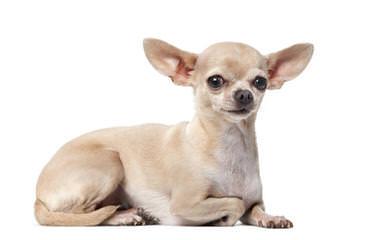 Samerey Toy Dogs Jamaica - Dog Breeders