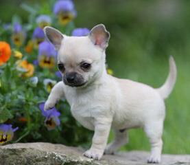 Kelvyn's Lill' Tykes - Dog Breeders