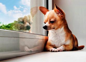 Teeniepaws Chihuahuas - Dog Breeders
