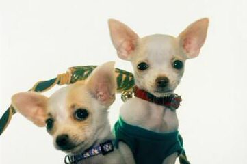 Dolittle Tiny Chihuahua Puppies AKC Top Quality At Discount Prices - Dog Breeders