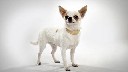 Simesh Kennels – Quality Chihuahua's & English Mastiffs - Dog Breeders